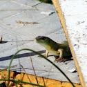 Balkan green lizard