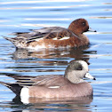Eurasian Wigeon (background)