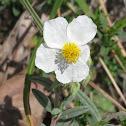 White Rockrose