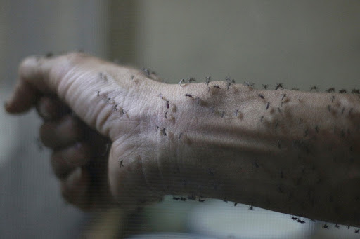 The forearm of a public health technician covered with sterile female mosquitoes. Picture: REUTERS