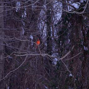 The One Bright Spot by Ann Carper - Animals Birds ( cardinal, mariner point park, dark background, birds,  )