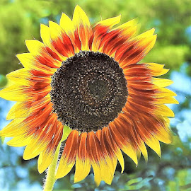 Sunny Sunflower by Mary Gallo - Flowers Single Flower ( nature, nature photo, nature up close, garden flower, sunny, sunflower, flower,  )