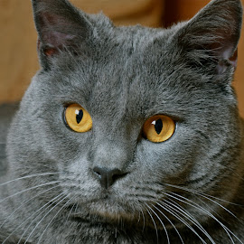 Hannibal by Serge Ostrogradsky - Animals - Cats Portraits