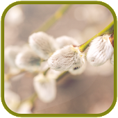 Pussy willow FullHD Wallpapers