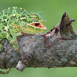 Flap-necked Chameleon by David Knox-Whitehead - Animals Reptiles ( chameleon, green, flap-necked chameleon, reptile, camouflage, aggresive )