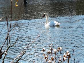 Photo: Sunlight on a beautiful white swan swimming in a lake at Carriage Hill Metropark in Dayton, Ohio.
