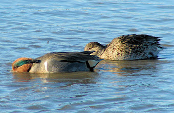 Photo: Green-winged teal - San Elijo Lagoon