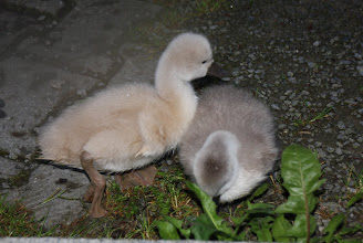 Photo: Day 57 - The Cygnets #4