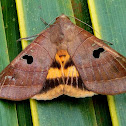 Noctuid Moth ♀