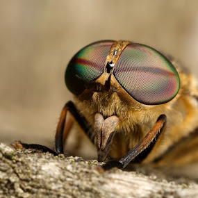 horsefly by Scott Thompson - Animals Insects & Spiders ( canon, macro, fly, insect )