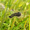 Smeared Dagger Moth