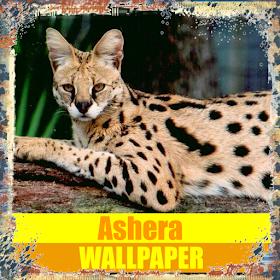 Обои для рабочего стола Ashera Cat