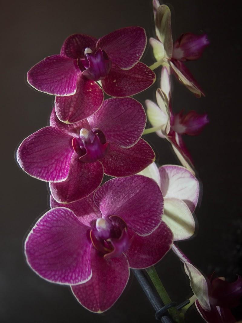 La mia orchidea  di Elisabetta Caselli