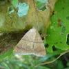 Mocis Moth