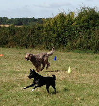 Photo: Brian Labradoodle and Daffy Border Collie in full recall mode. Beautiful picture Katie!