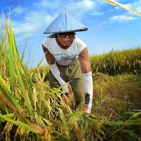 Harvest Rice by Widia Widana - People Portraits of Men ( #humaninterest #nikond3100 )