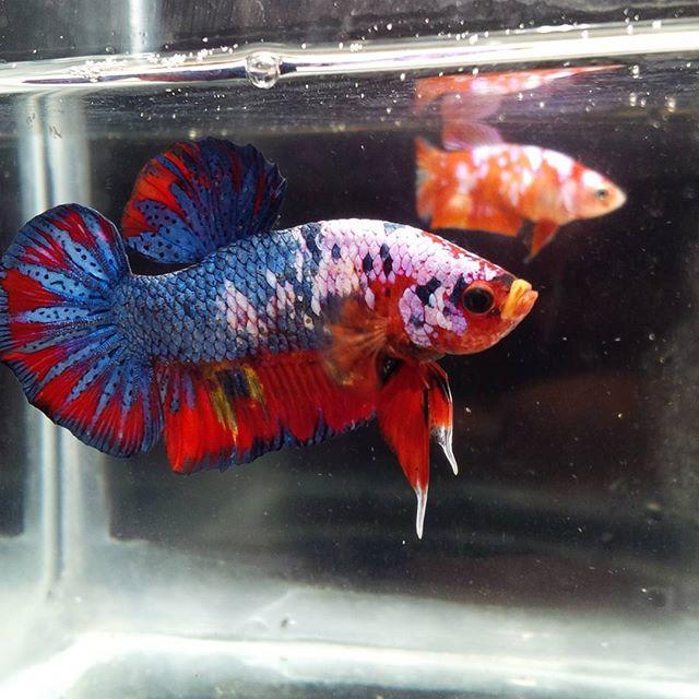 Koi fancy plakat female x dalmation marble butterfly for Female koi fish