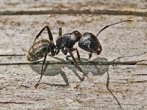 Photo: Big Head, Small Ant
