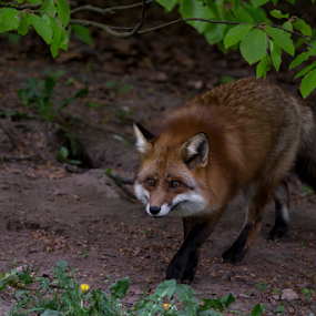 Foxy by Buffan Walter - Animals Other ( forrest, fox, tree, nature, green, furry, naturephotography, fur, leaf, foxy, animal,  )