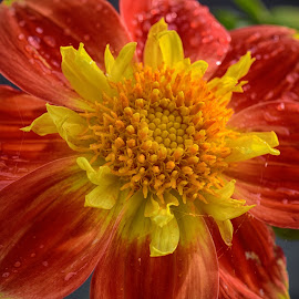 Red'n Yellow by Marco Bertamé - Flowers Single Flower ( red, blooming, waterdrops, bloom, dahlia, droplets, yellow, petals, summer,  )
