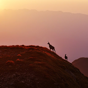 Carpathian black goats by Nicu Buculei - Animals Other Mammals ( mountains, nature, sunset, goat, mammal )