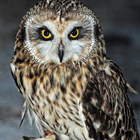 Asio by Andrea Everhard - Animals Birds