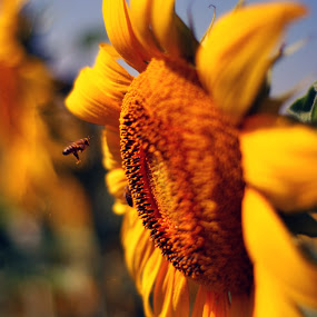 bee with sunflowers by Ahmet AYDIN - Animals Other ( bee, sunflowers, Hope )