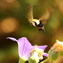 Snowberry clearwing moth
