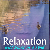 Relaxation - Ducks In A Pond