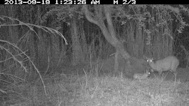 Photo: Same hare now visiting a male bushbuck... A mesma lebre agora visitando um macho de golungo...