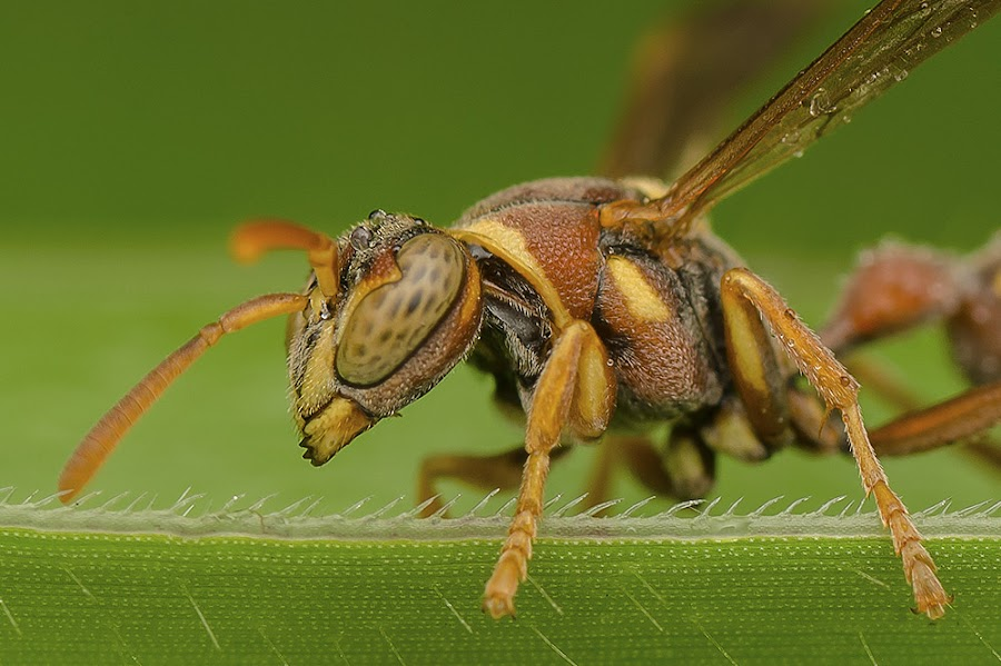 Angry Wasp ! by Marcus Kam - Animals Insects & Spiders ( macro )