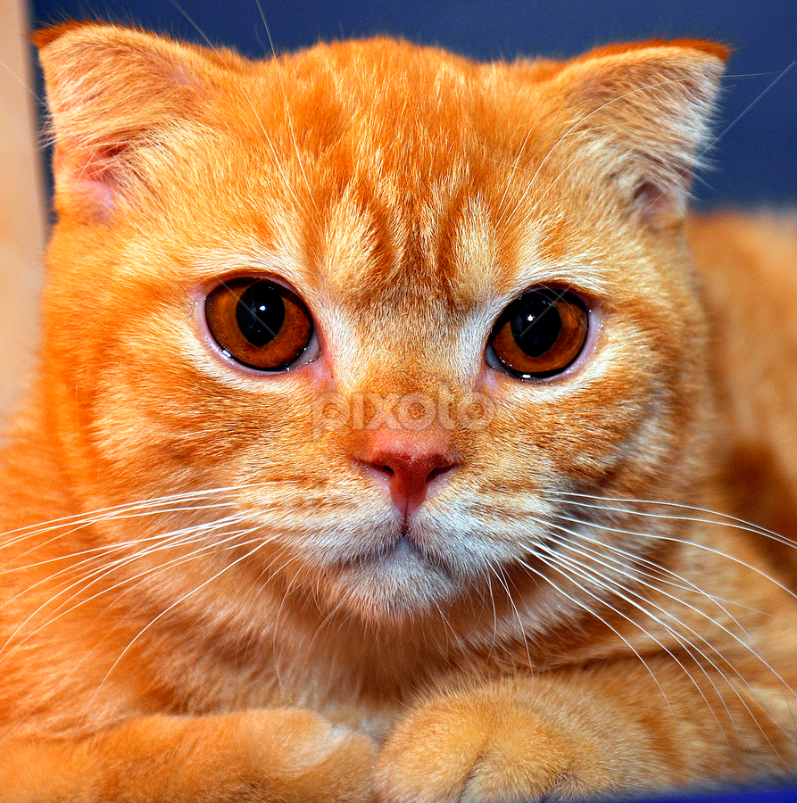 Reddish by Cacang Effendi - Animals - Cats Kittens ( cats, kitten, cattery, chandra, scottish, pwc84 )