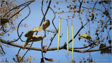 Photo: Arbore trompetă (Catalpa bignonioidea) - de pe Calea Victoriei, alee Mr.2 - 2016.11.04