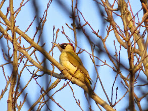 Photo: Priorslee Lake You don't want to mess with this bird – just look at that evil eye! Glad I am not an ant. A Green Woodpecker of course. A female – a male would show a red centre to the black moustache. (Ed Wilson)