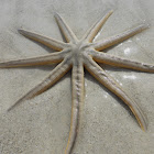 Nine-armed Sea Star