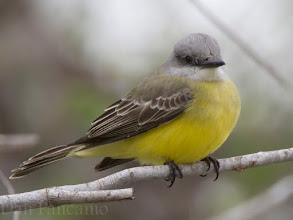 Photo: Western Kingbird
