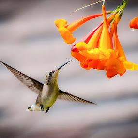 Trumpet Snack by Craig Curlee - Animals Birds ( bird, flying, trumpet flower, hummingbird, close up )