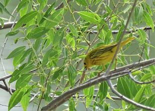 Photo: Yellow Warbler (M)
