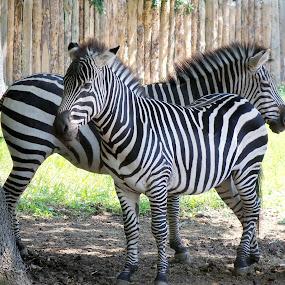 zebra by Ionela Garovat - Animals Other ( nature, zebra, animal,  )