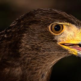 Harris Hawk by Dave Lipchen - Animals Birds ( harris hawk )