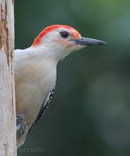 Photo: Red-Bellied Woodpecker