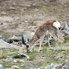 Goa, The Tibetan Gazelle