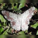 Geomitridae moth