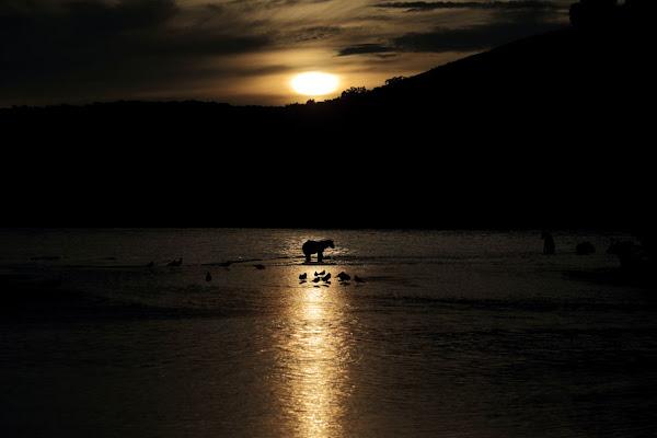 Orso attraversa il tramonto  di Sgheno