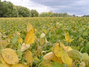 Photo: Close-up of soy leaves turning color like their cousins the trees. (Sept. 28, 2009)