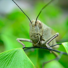 Grasshopper by Widia Widana - Animals Insects & Spiders