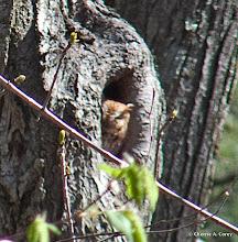 Photo: Screech owl