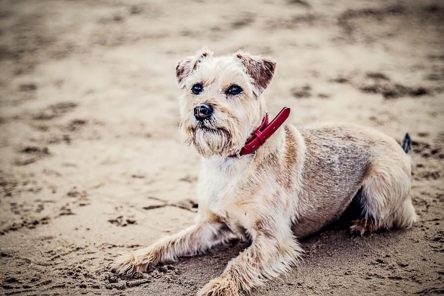 by Mandy Charlton - Animals - Dogs Portraits