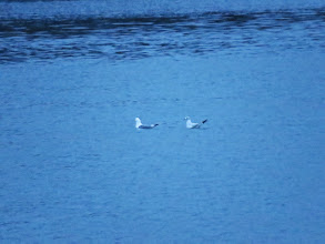 Photo: Priorslee Lake A record shot of the adult Kittiwake alongside an immature Black-headed gull. For technical anoraks ever setting the ISO rating to 6400 I was still forced to shoot at 1/30th of a second at 06:35 on a dull morning. (Ed Wilson)