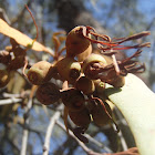 Drooping mistletoe